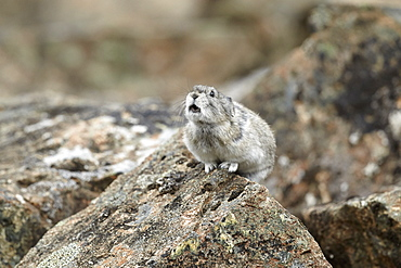Collared Pika on rock, Denali NP Alaska