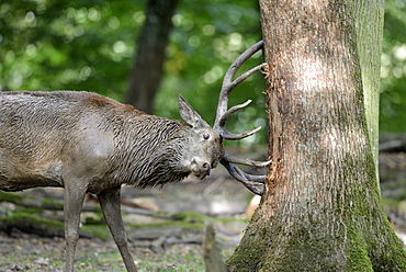 Male red deer during rutting, France