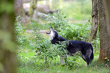 Timberwolf howling