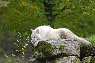 Lying on a rock arctic wolf