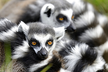 Portrait of Ring-tailed lemurs