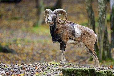 Corsican mouflon undergrowth