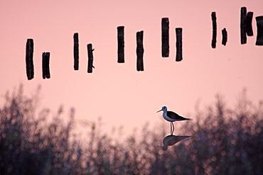 White Stilt and picket in a coastal marsh, France