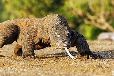 Komodo dragon walking, Komodo Indonesia