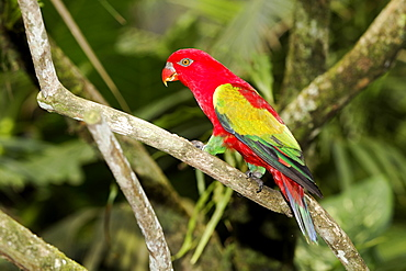 Chattering lory on branch, Indonesia