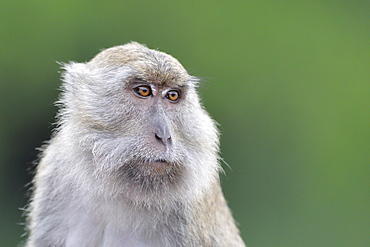 Portrait of Long-tailed macaque, Indonesia