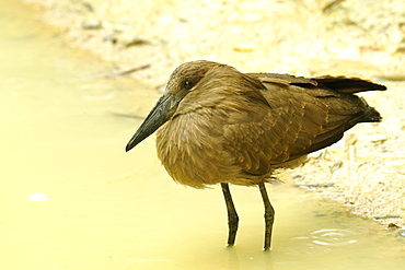 Hamerkop in water, Zoo Doue la Fontaine France
