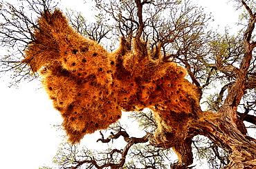 Sociable Weaver nests on a tree, Namibia