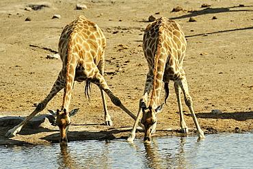 Giraffes drinking at the waterhole, Etosha Namibia