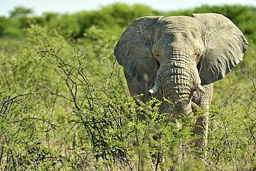 Male Elephant in savannah Africa, Etosha Namibia