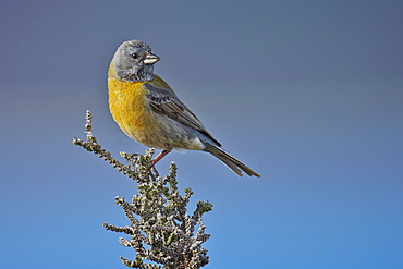 Grey-hooded Sierra-finch male, Torres del Paine NP Chile