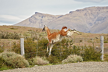 Guanaco jumping over a fence, Patagonia  Chile