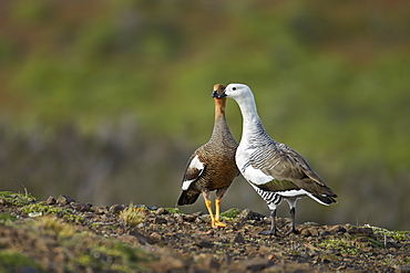 Upland geese breeding pair, Torres del Paine NP Chile