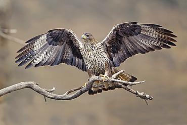 Bonelli's Eagle third-year female on branch, Aragón Spain