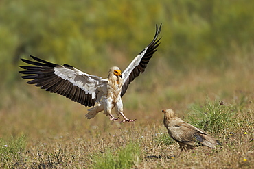 Egyptian Vulture landing, Extremadura Spain