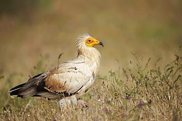 Egyptian Vulture on ground, Extremadura Spain