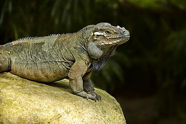 Rhinoceros Iguana on rock, Singapore Zoo