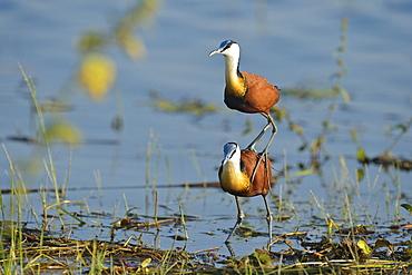 African Jacana mating, Botswana