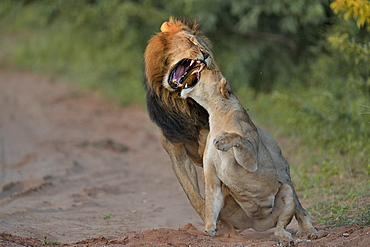 Lion mating, Botswana
