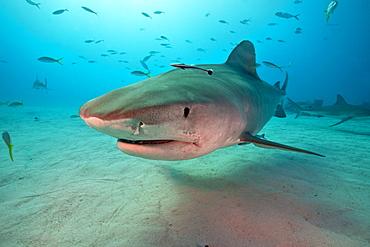 Tiger shark swimming above a sandy bottom, Bahamas