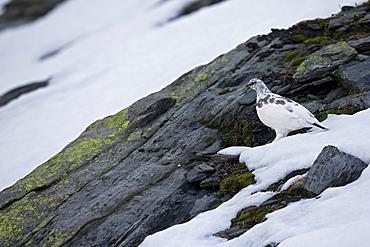 Rock Ptarmigan intermediate plumage, Swiss Alps