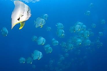 Schooling longfin batfish, Raja Ampat  Indonesia