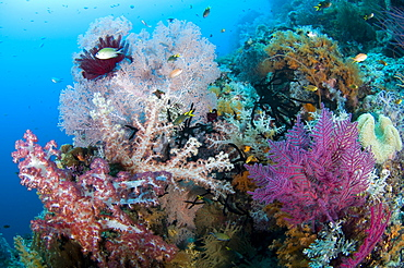 Soft corals on a tropical reef, Raja Ampat  Indonesia