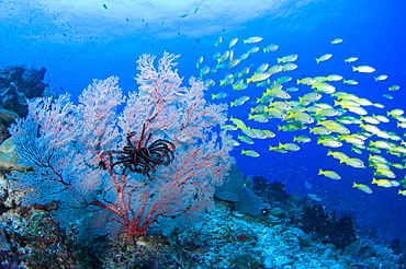 Gorgonian Seafan and Bigeye Snappers, Raja Ampat  Indonesia