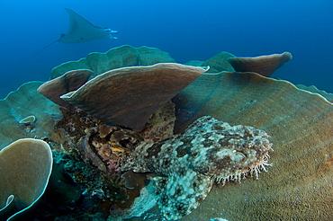 Tassled wobbegong shark and Manta Ray-Raja Ampat Indonesia
