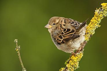 House Sparrow on a branch, Ardennes Belgium