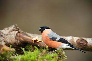 Bullfinch on a branch, Ardennes Belgium