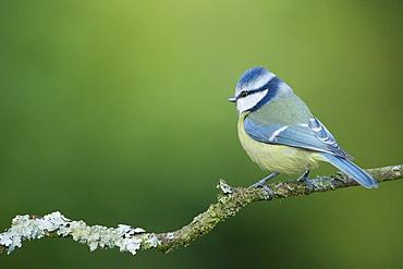Bluet tit on a branch, Ardennes Belgium