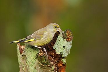 Greenfinch on a stump, Ardennes Belgium