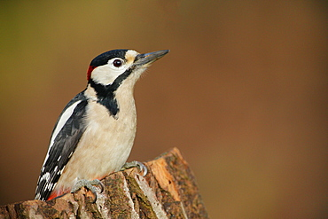Great Spotted Woodpecker on a stump, Ardennes Belgium