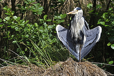Grey Heron warming on a tuft of sedge, France