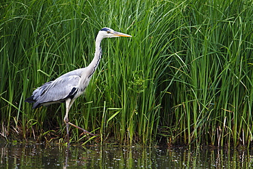 Grey Heron walking along a lake, France