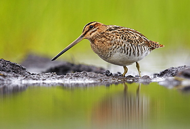 Common Snipe on bank, Finland