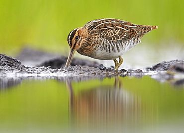 Common Snipe feeding on mudflat, Finland