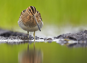Common Snipe on mudflat, Finland