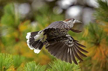 Spotted Nutcracker in flight, Finland