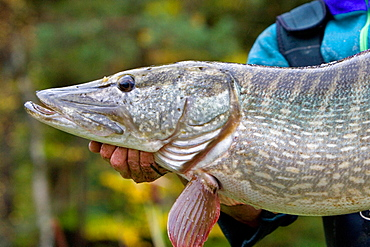 Presentation of a northern pike, Vosges France