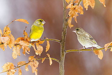 Greenfinches on a branch in winter, Alsace France