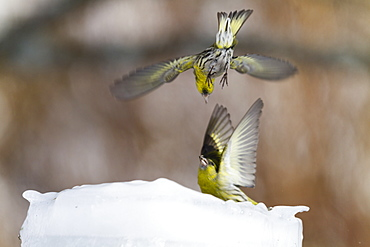 Fight Siskins male on the ice, Alsace France