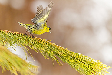 Eurasian Siskin male flapping wings, Alsace France