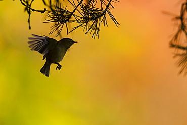 Goldcrest flying under branches, Alsace France