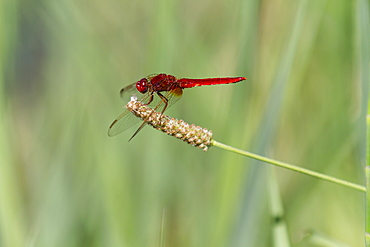 Male Red Darter on plantago stem, France