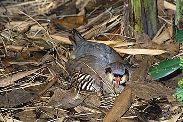 Rock Patridge at nest