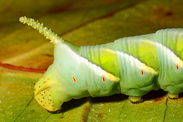 Tobacco Hornworm on leaf, New Caledonia