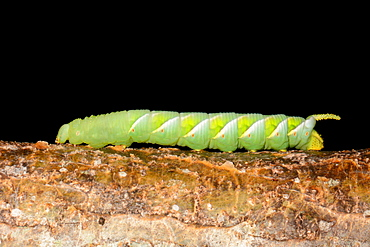 Tobacco Hornworm on branch, New Caledonia