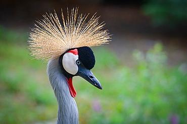 Portrait of Grey Crowned Crane, Zoo Parc de Beauval France